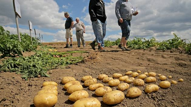 Úroda brambor je tragická