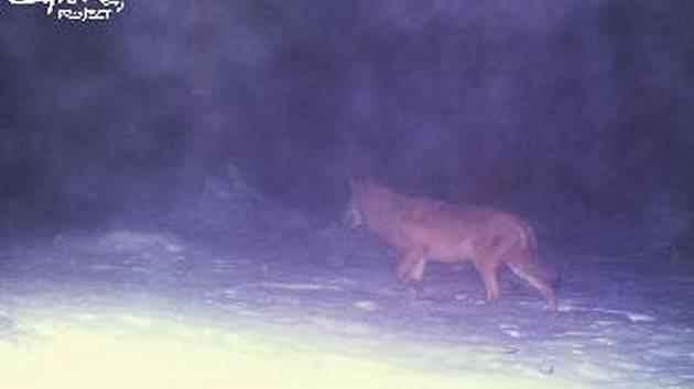 Vlk v lesích u Lipna.