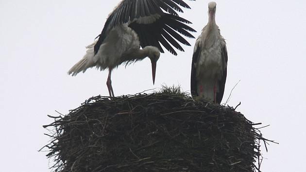 Čápi se vrátili na své hnízdo v Horním Třeboníně.