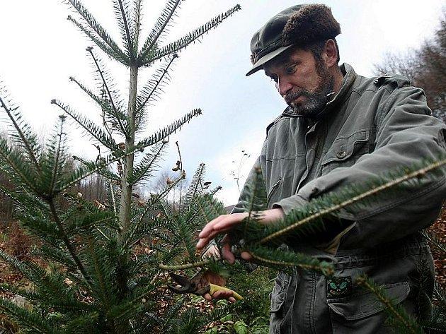 """Jedním ze způsobů, jak lesníci brání jehličnany před útoky nenechavců, je zastříhávání postranních větví. """"Stromkům to nijak neublíží, růst mohou dál, pouze tím snížíme jejich estetickou kvalitu,"""" vysvětlil Bedřich Navrátil (není na snímku)."""