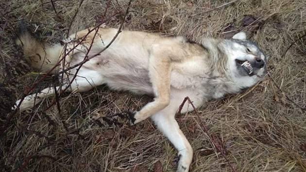 Vlk sražený na Kaplicku.