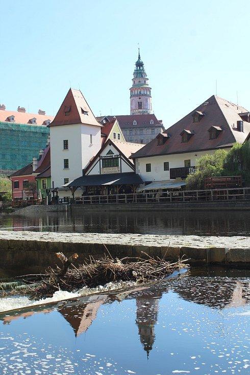 Kachna divoká zahnízdila v Českém Krumlově na šlajsně pod Plášťovým mostem.