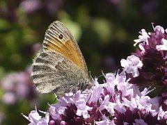 Motýlům může pomoct každý zahrádkář.
