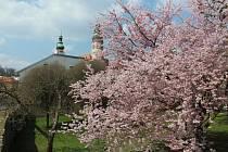 Západní část krumlovské novoměstské zahrady zaplavily květy sakur.