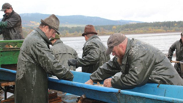 Výlov: Kapři z Olšiny jsou na Vánoce, ale pro ryby si můžete dojít i teď