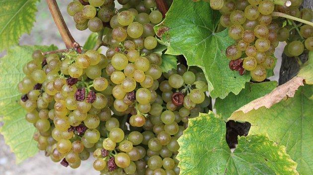 Vinobraní v Krumlově na Tramínu slibuje pozdní sběr