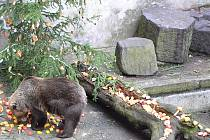 Jakmile Jan Míša Černý otevřel vrata brlohů, medvědi se nedali pobízet a s chutí se pustili do připravených laskomin.