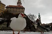 Na Ostrově v Českém Krumlově tráví čas s divokými kachnami pižmovka domácí.