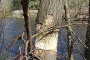 Na Vltavě u Lověšického mostu řádí bobři, pokáceli tam skoro dvacet stromů.