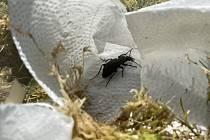 Experimentem zjišťují, kolik jedinců brouka střevlíka Ménétriésového na rašeliništi Kapličky žije.