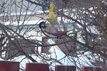 Strakapoud velký výpomocí v zimě ohledně potravy také nepohrdne.