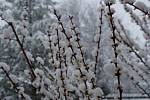 Zasněžené květy meruněk v Dolním Třeboníně.