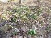 OBRAZEM: Za bledulemi se s botaničkou Blanského lesa vydaly desítky lidí