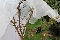Meruňka přikrytá proti mrazu.