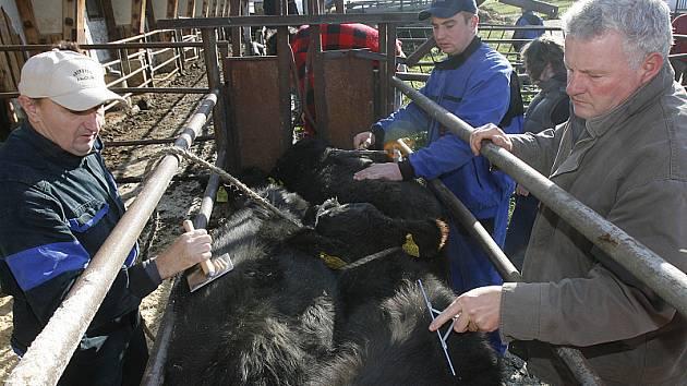 Irští lektoři  učí zemědělce nasadit telatům ohlávku, zatímco ostatní zvířata uklidňují drbáním a česáním.