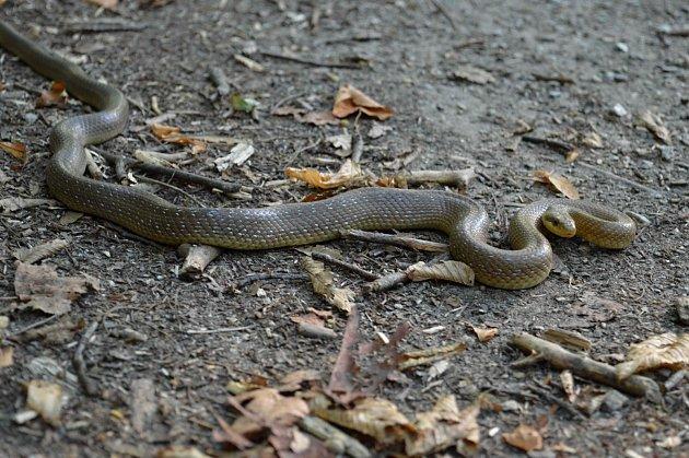 Z hada se vyklubala téměř metrová užovka. Ilustrační foto: Deník/ Vojtěch Smola