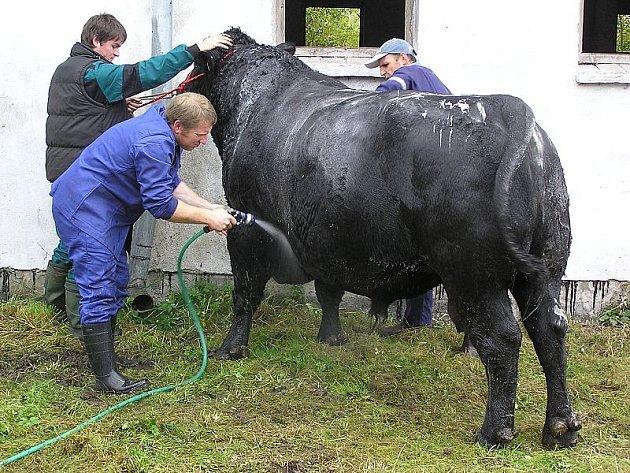 Šamponování plemenného býka.