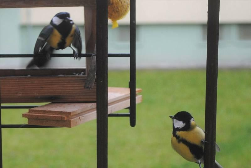 Stačil den a krmítko je v obležení ptáků. Nejčastějším hostem jsou sýkory koňadry.