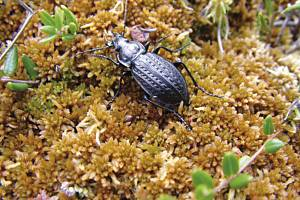 Entomolog Jaroslav Boháč provádí výzkum života vzácného střevlíka v lokalitě u Kapliček.