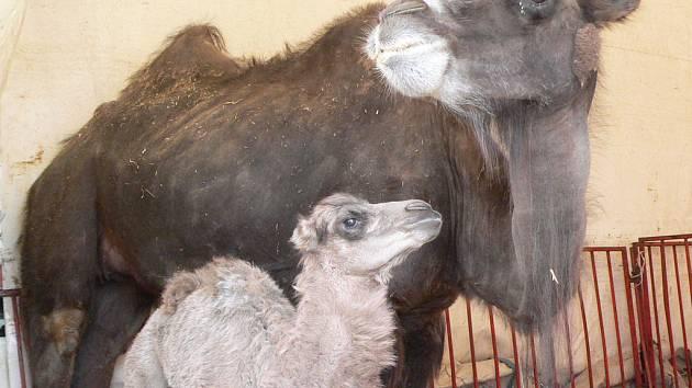 Českokrumlovské velbloudě se svou matkou Salimou.