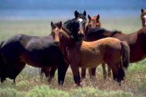 Mustangové jsou potomci zdivočelých koní španělských kolonistů Ameriky. Ilustrační foto.