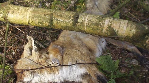 Je i tato včera odvezená liška obětí neznámého traviče? To ukáže až rozbor.