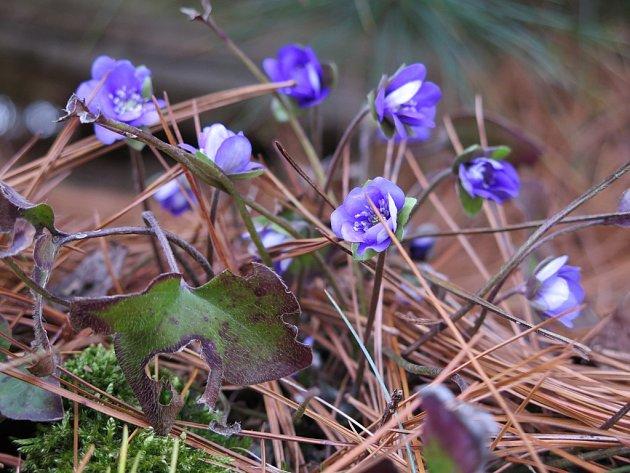 Pozdrav jara - kvetoucí jaterníky.