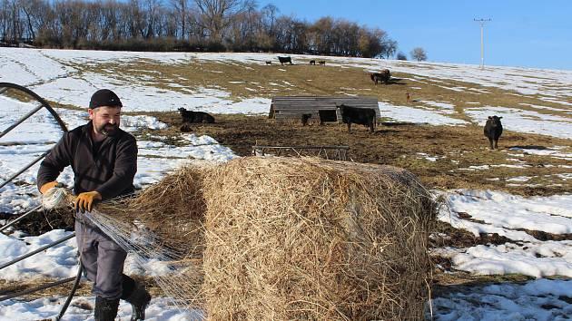 Farmář Milan Šusta junior dává kravám na pastvině v Mýtě balík sena.