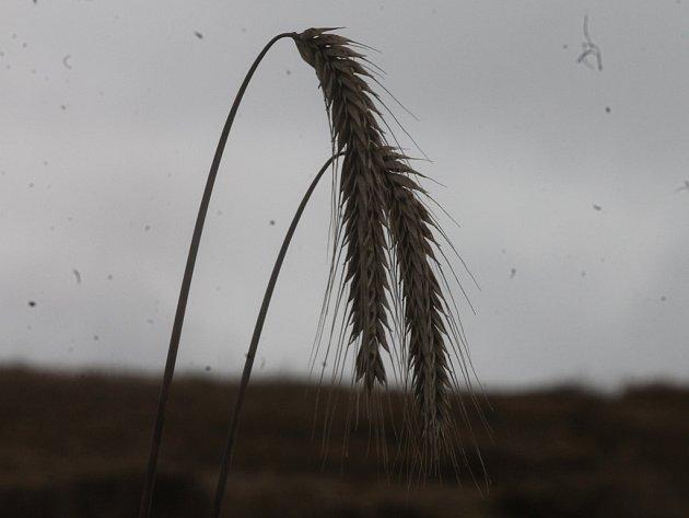 Deštivé žně.