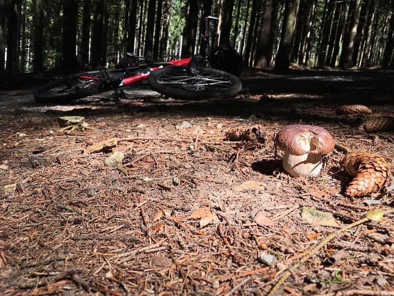 Několik desítek praváků nechal v lese houbař-cyklista v okolí rozcestí Pod Růžovým vrchem, některé si alespoň vyfotil.