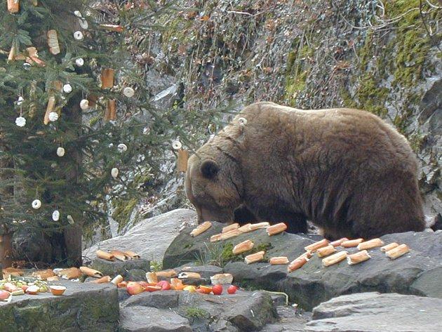 Opravdové hody připravují medvědům každý rok Vánoce.