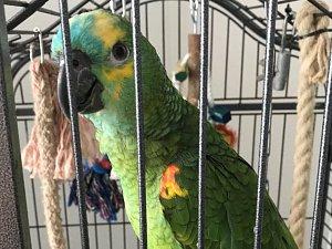 Papoušek modročelý. Pomozte ho najít.