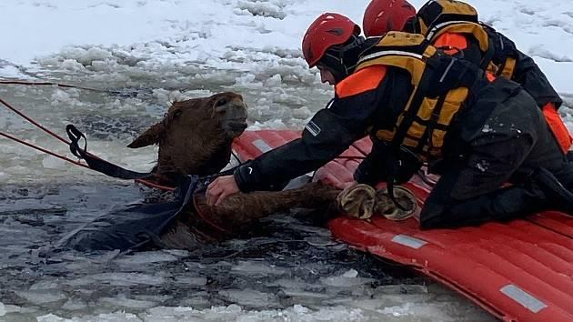 Kobylka Zoja se propadla do Lipna kilometr od břehu. Zachránili ji vodní záchranáři společně s hasiči a mnoha dobrovolníky.