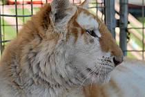 Chloubou cirkusu Arlet je zlatý tygr. Foto: archiv cirkusu
