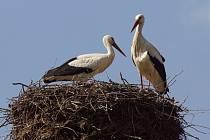 Čapí pár na svém hnízdě v Horním Třeboníně.
