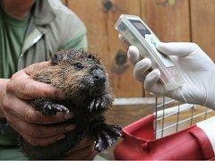 Čipování mláděte bobra.