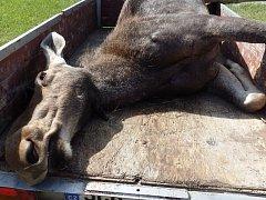 Samice losa evropského, kterou srazilo auto u Studánek.