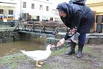 Kachna na Ostrově bydlí dál, od ženy, která ji pravidelně chodí krmit, dostala jméno Martin.