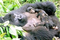 Pohled na samici gorilí tlupy Susa a týdenní dvojčátka byl odměnou za náročný výšlap.