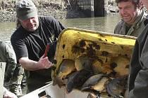 Ryby v Layreráku přezimovaly v pořádku. Tito pěkní kapři nyní už plavou v revírních vodách velešínských rybářů.