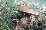 Houbaři se ve skupině Houby pochlubili svými prvními úlovky. Takhle rostou na Trutnovsku.