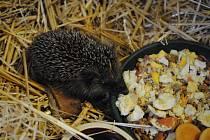 Mládě ježka.