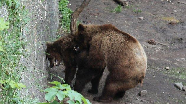Medvědí namlouvání na krumlovském zámku