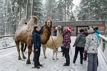 Velbloud Šajtan a lama Otík se producírovali ve sněhu na Lipně.