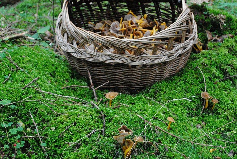 Lišky nálevkovité ve smrkovém lese u Černé v Pošumaví.