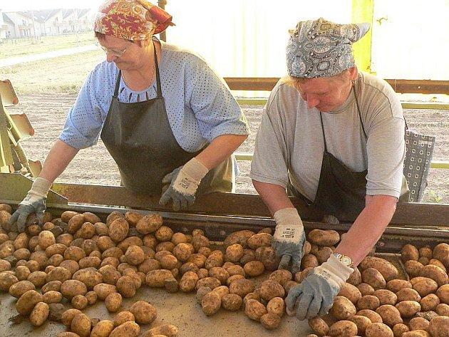 Letošní brambory jsou velké, pěkné a zdravé.