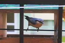 Stačil den a krmítko je v obležení ptáků. Brhlík si létá pro zásoby na zimu, které ukrývá ve škvírách v kůře stromů nebo ve zdech.