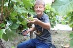 Vinobraní na Tramíně tradičními a ekologickými postupy.