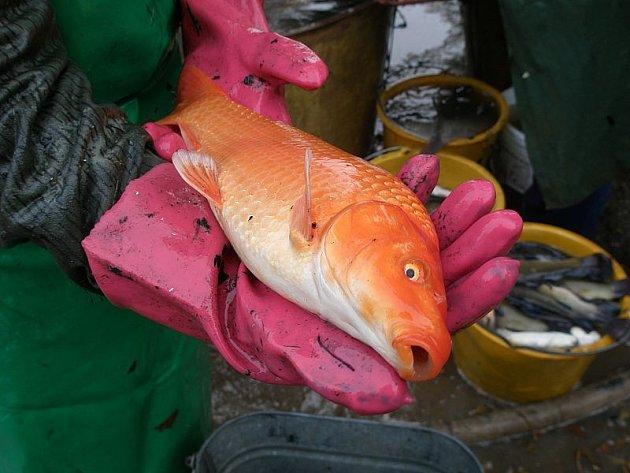 Křemežští rybáři vylovili zlatou rybu. Ne v pohádce, ale skutečnou při výlovu.