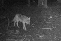Vlk si k fotopasti nad ránem došel na vývrh z divokého prasete.